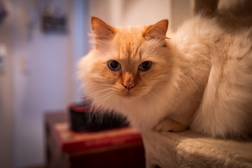 Indoor photo of sacred birman cat