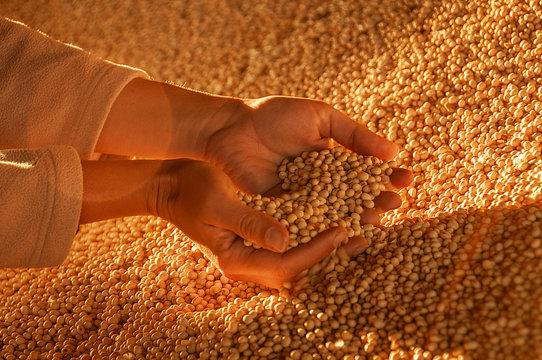 Human hands with soy seeds.