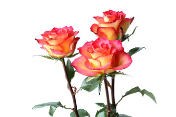Three yellow roses with red edges of petals on white background