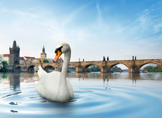 Fototapete - Swan in Prague