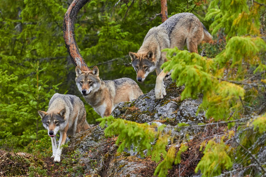 wolf in forest hunting patrol