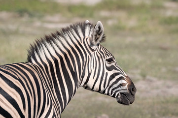 Aluminium Prints Zebra Close up of a young zebra standing on the grassland of the Okavango Delta in Botswana