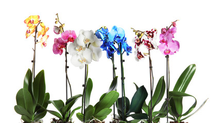 Beautiful tropical orchid flowers on white background