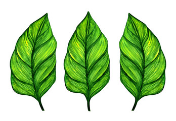 Green tropical watercolor leaves isolated on white background
