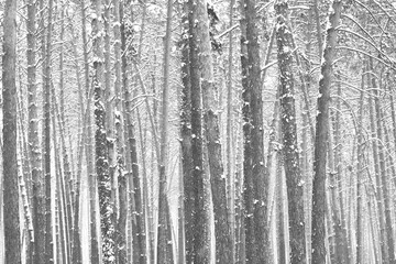 Black and white photo of winter pine forest in snowdrifts in cold and windy weather