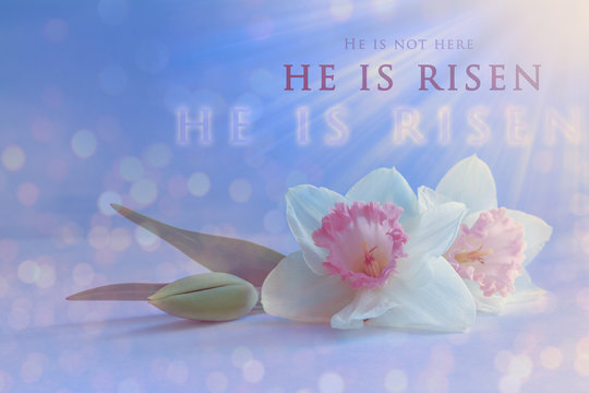 Christian Easter card. 'He is risen' text on a soft spring daffodil blossom background with bright ,delicate, pastel colors.Jesus Christ resurrection, religious Easter concept
