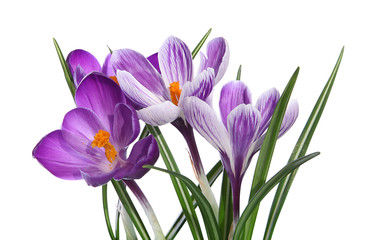 Photo sur Plexiglas Crocus Crocus violets