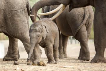 Poster Elephant Baby Aziatische olifant speelt met poep