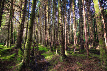 The pine scottish forest