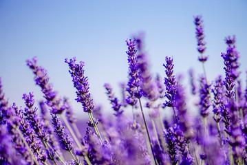 Türaufkleber Lavendel Champ de Lavende à Valensole, Aix-en-Provence, France