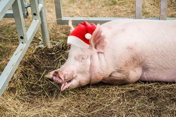 Pig at pig farm. Pig in Santa Claus hat