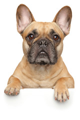 Poster Bouledogue français French Bulldog above banner, isolated