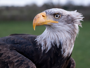 Close up portrait of a bald eagle, photographed at the English School of Falconry, Herrings Green Farm, Bedfordshire UK
