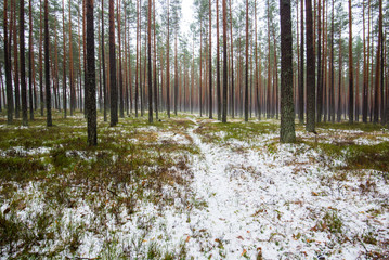 Cloudy winter day in the pine forest. Green grass under the snow and golden leaves. Latvia