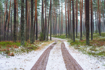 A dirt road through the snow-covered pine tree forest. Winter landscape. Latvia