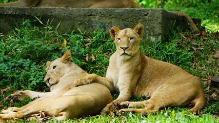 Fotos de dos leonas  en cautividad