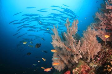 Barracuda fish on coral reef