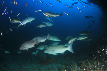 Longnose Emperorfish fish on coral reef