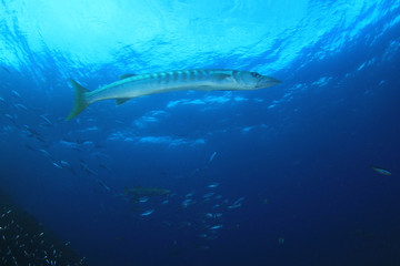 Barracuda fish on coral reef