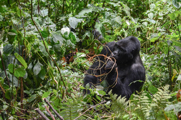 Alpha mountain gorilla snacking on some branches for lunch