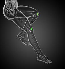 3D medical illustration of the patella bone