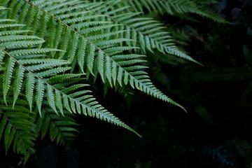 Fresh green fern leaves on black background in a garden