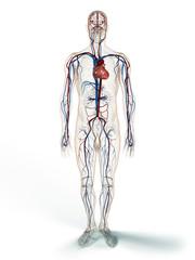 Cardiovascular System - 3d illustration