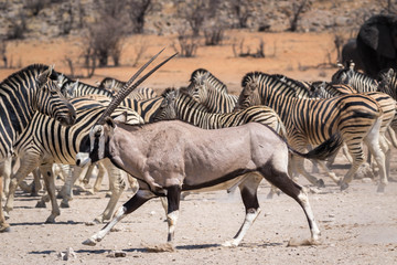 An oryx antelope in front of a group of zebras