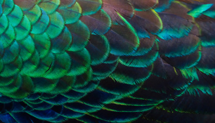 Details and patterns of peacock feathers.