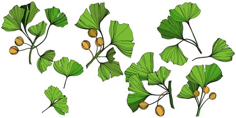 Vector Isolated ginkgo illustration element. Green leaf. Plant botanical garden floral foliage. Green engraved ink art.