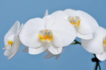 Fototapeta White Orchid. obraz