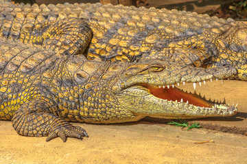 Closeup of African Crocodile species Crocodylus Niloticus, with open mouth at iSimangaliso Wetland Park in St Lucia Estuary, South Africa.