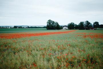 Roter Klatschmohn auf Rapsfeld. Biolandwirtschaft