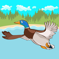 Duck flies hand drawing, cartoon character, vector illustration, caricature, card, cover, design element. Colorful painted cute funny bird drake fly over the river and forest for migrates to wintering