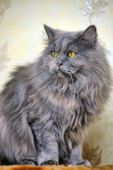 gray fluffy Persian cat