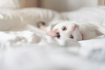 Cute white cat lying in bed. Fluffy pet is gazing curiously. Stray kitten sleep on bed. Cozy home background, morning bedtime.