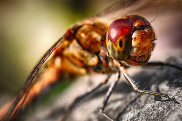 Dragonfly with red eyes macro