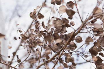 Dead Leaves on Tree Branches