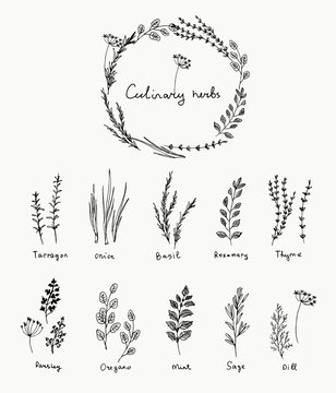 Hand drawn set of culinary herb. Basil and mint, rosemary and sage, thyme and parsley. Food design logo