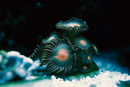blur mint green and orange Zoanthid round corals swaying under water