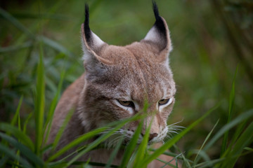 Abordable Eurasian Lynx, portrait in summer field