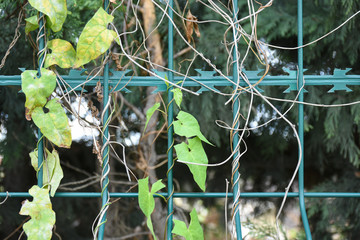 ivy wrapped around barbed wire