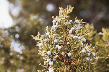 Juniper Tree Branches, Juniper Berries, Western Juniper Berry Tree