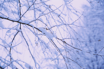 Close Up of Snowy Tree Branches
