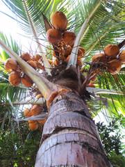 Yellow Palm Coconut Tree, Low Angle Shot
