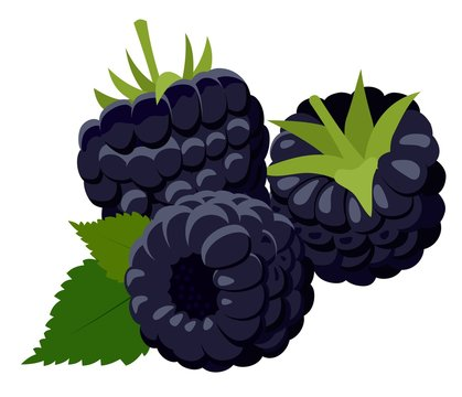 Blackberries. Group of two ripe blackberries with green leaves isolated on white background. Forest berry. Cartoon illustration.