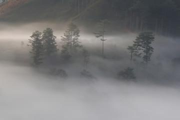 Pine forest valley in mistty morning