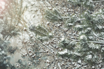 Pine tree branches covered with snow. Frozen tree branch in winter forest. Beautiful winter season background.