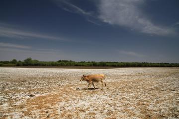 Fototapeta samotna krowa na wyschniętej i popękanej ziemi z niebieskim niebem w tle w ameryce południowej obraz