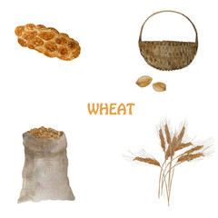 Ears of wheat. Watercolor stages of bread production with wheat grains, challah, basket of grain.